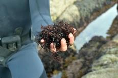 "Seaweed ""Mastocarpus."" Barizo, Malpica (Spain)"