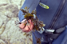 "Seaweed ""Fucus"" with barnacle flavor. Barizo, Malpica (Spain)"